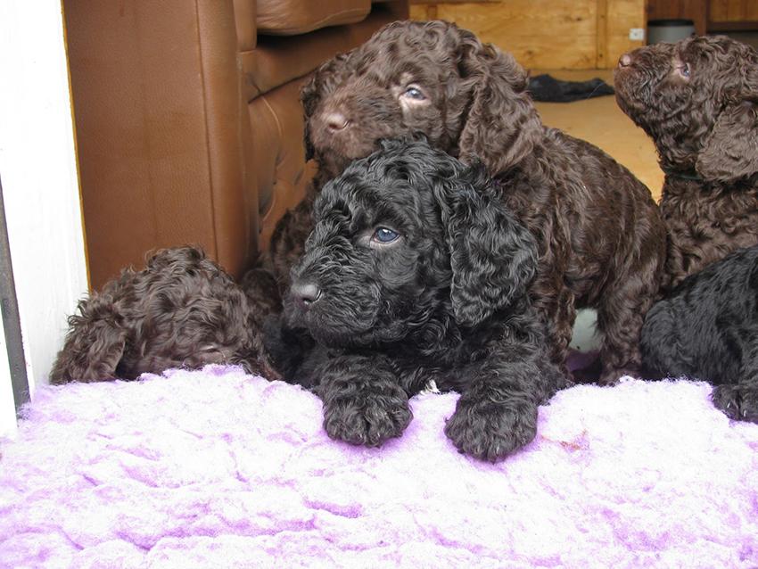 Выбор щенка французской водяной собаки