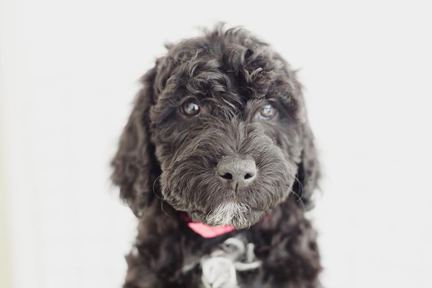 Всё о породе барбет - фото собаки, описание породы барбет, характер, содержание и уход за французскими водяными собаками