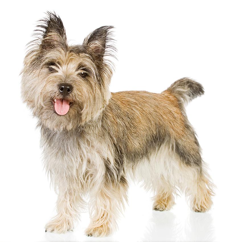 Всё о породе Керн-терьер - фото собаки, описание породы Керн-терьер, характер, содержание и уход