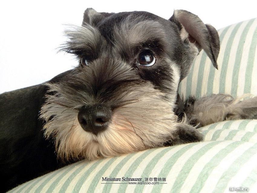 Содержание за миттельшнауцерами и уход за собаками
