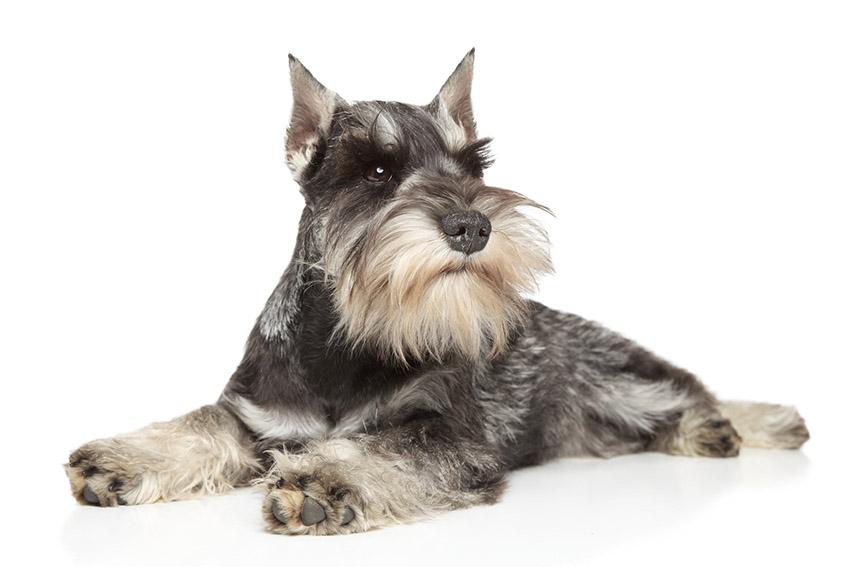 Всё о породе Миттельшнауцер - фото собаки, описание породы Миттельшнауцер, характер, содержание и уход