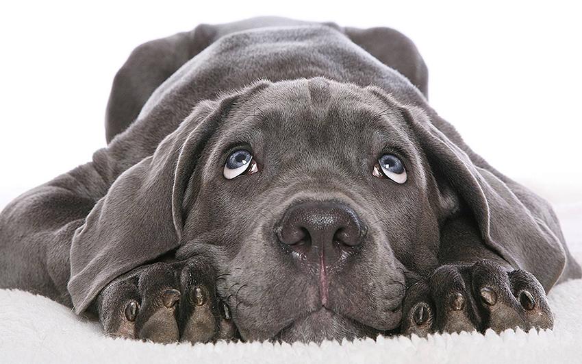 Всё о породе Веймаранер - фото собаки, описание породы Веймаранер, характер, содержание и уход за Веймарской легавой