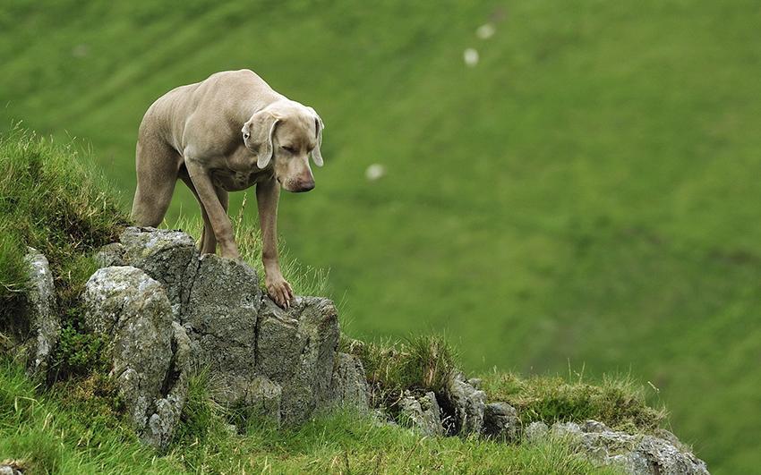 Прогулка с веймаранером - сколько надо гулять с собакой