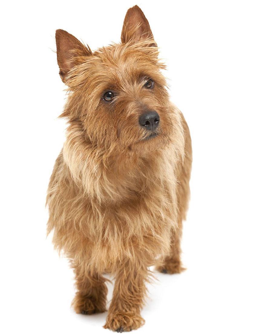 Всё о породе Австралийский терьер - фото собаки, описание породы Австралийский терьер, характер, содержание и уход