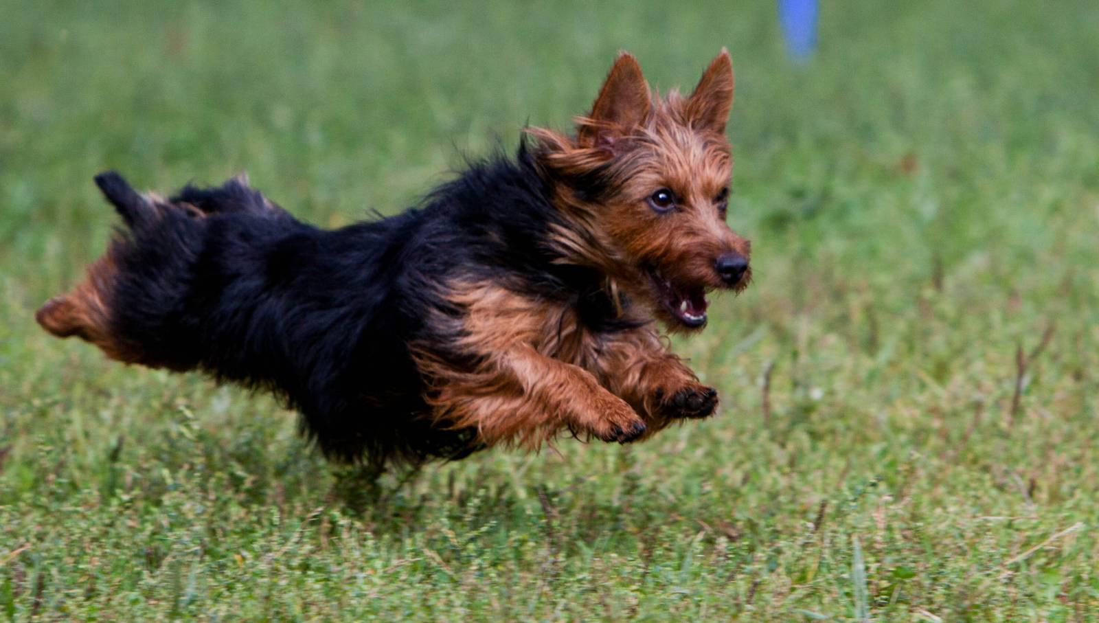 картинки собаки австралийский терьер днём рожденья