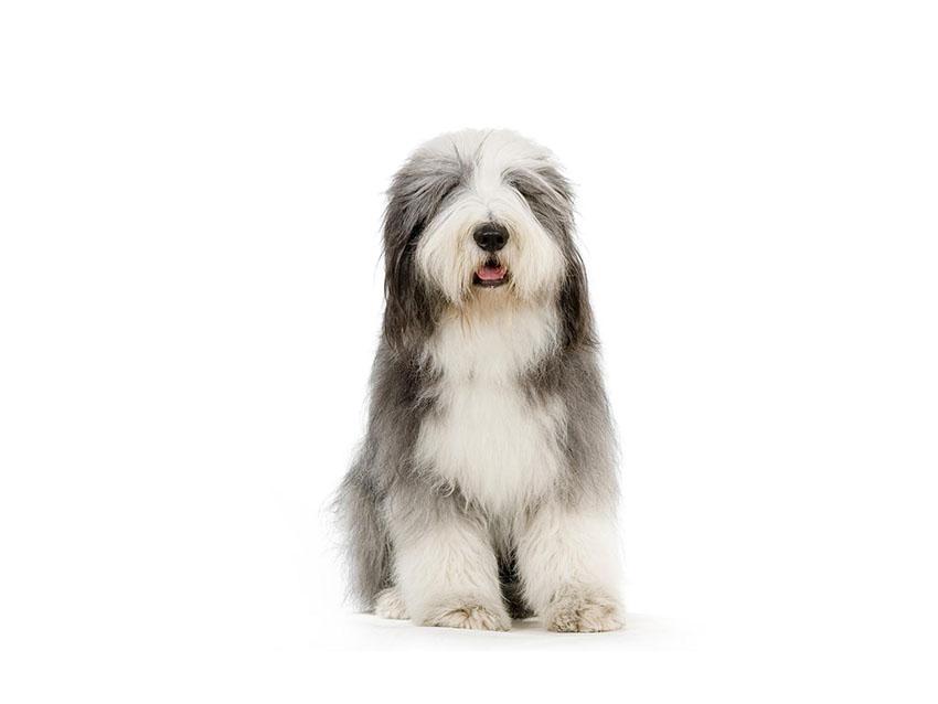Всё о породе Бородатый колли - фото собаки, описание породы Бородатый колли, характер, содержание и уход бердед колли
