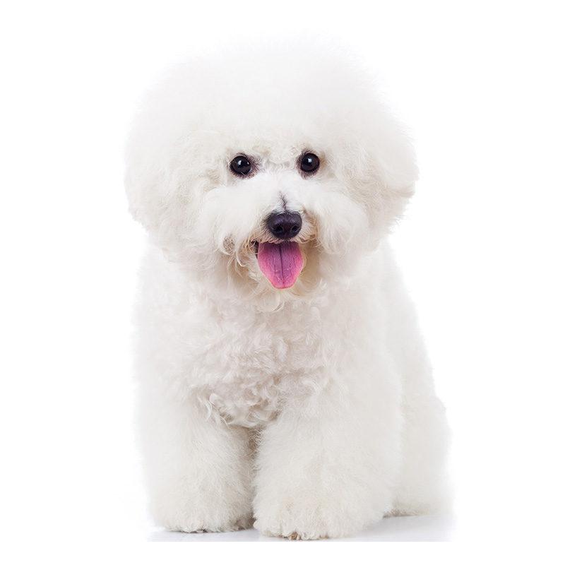 Всё о породе Бишон фризе - фото собаки, описание породы Бишон фризе, характер, содержание и уход