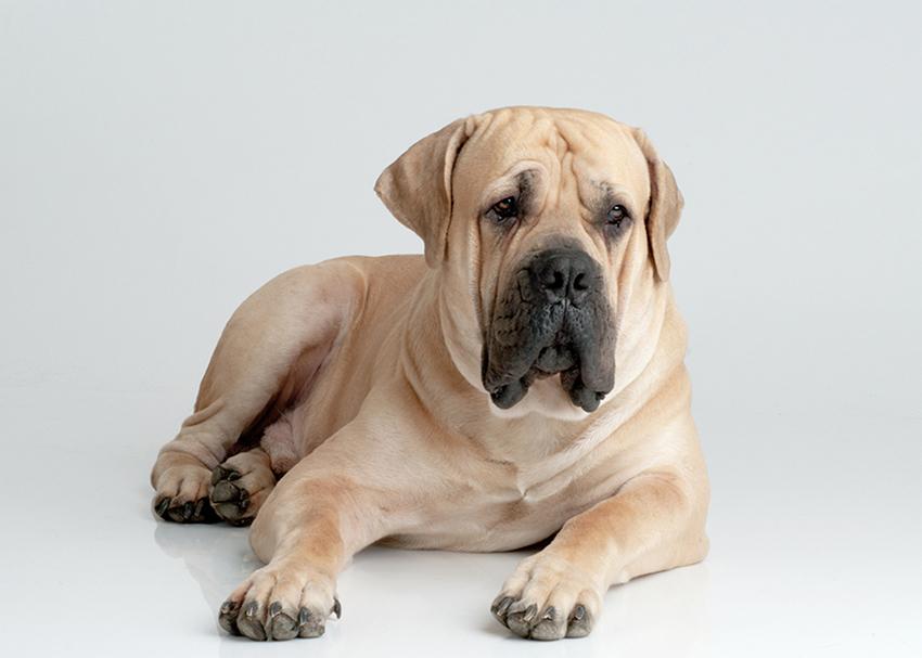 Всё о породе бурбуль - фото собаки, описание породы Южноафриканский Бурбуль, характер, содержание и уход за Южноафриканским мастифом