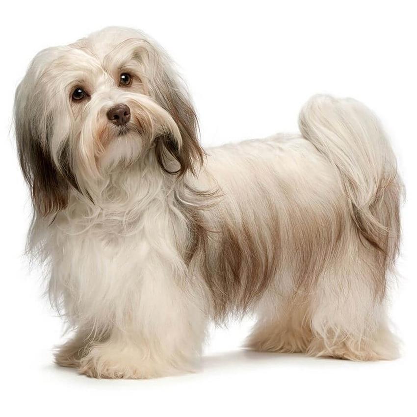 Всё о породе Гаванский бишон - фото собаки, описание породы Гаванский бишон, характер, содержание и уход