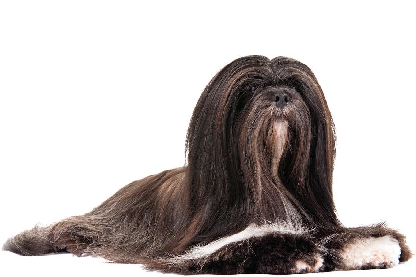 Всё о породе лхаса апсо - фото собаки, описание породы лхасский апсо, характер, содержание и уход