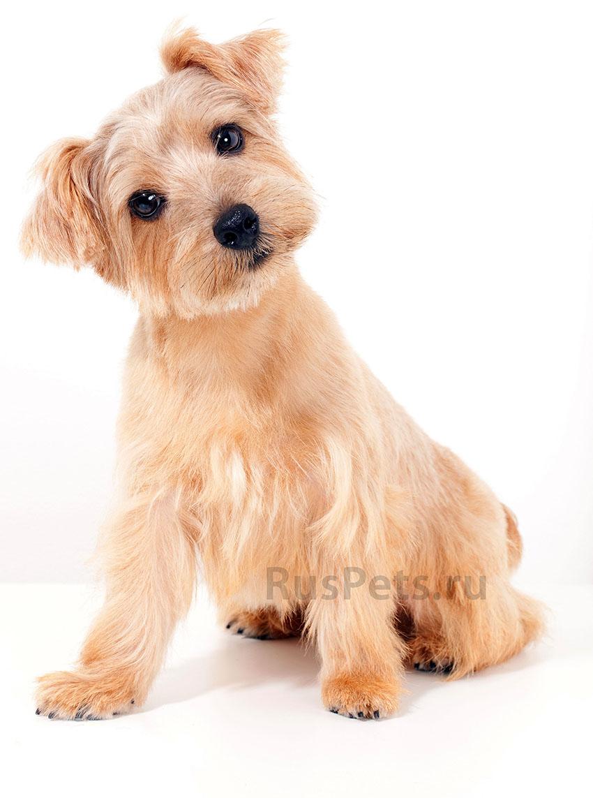 Всё о породе Норфолк-терьер - фото собаки, описание породы Норфолк-терьер, характер, содержание и уход