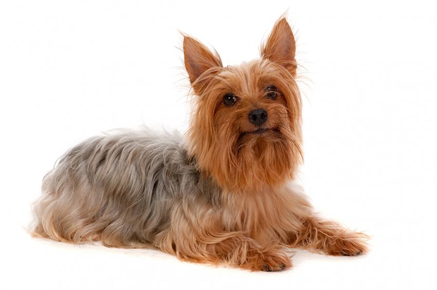 Всё о породе Австралийский шелковистый терьер - фото собаки, описание породы силки-терьеров, характер, содержание и уход
