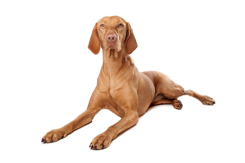 Всё о породе Венгерская выжла - фото собаки, описание породы Венгерская выжла, характер, содержание и уход