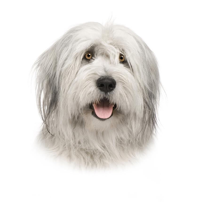 Всё о породе Южнорусская овчарка - фото собаки, описание породы Южнорусская овчарка, характер, содержание и уход
