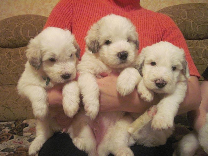 Как выбрать щенка южнорусской овчарки