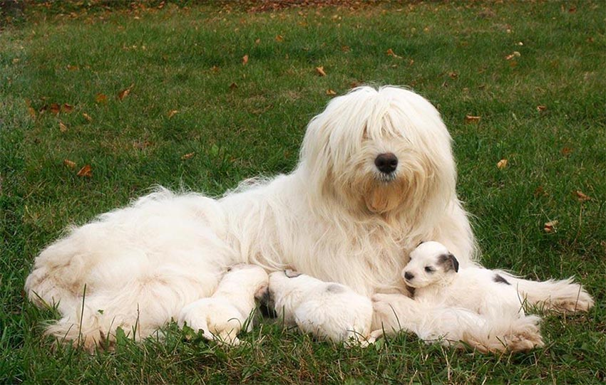 Мама с щенками южнорусской овчарки