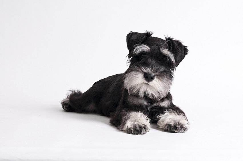 Всё о породе Цвергшнауцер - фото собаки, описание породы Цвергшнауцер, характер, содержание и уход за карликовыми шнауцерами