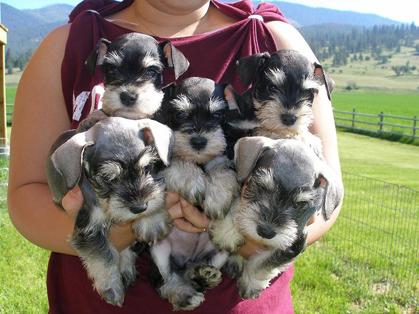 Выбор щенка карликового шнауцера