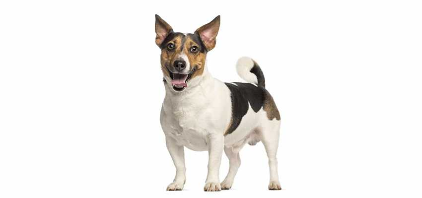 Всё о породе Джек Рассел терьер - фото собаки, описание породы Джек Рассел терьер, характер, содержание и уход