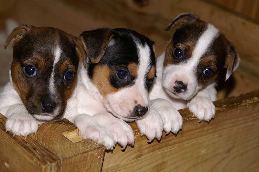Как выбрать щенка Джек Рассел терьера