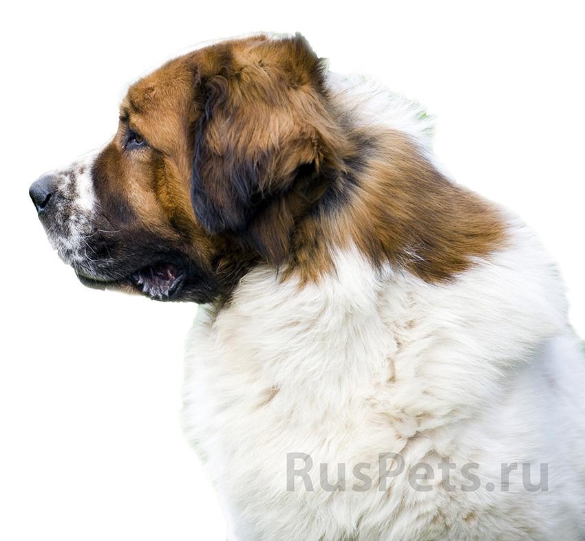 Всё о породе Московская сторожевая - фото собаки, описание породы Московская сторожевая, характер, содержание и уход