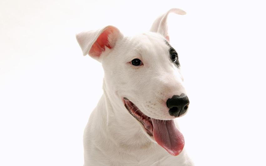 Всё о породе Бультерьер - фото собаки, описание породы Бультерьер, характер, содержание и уход