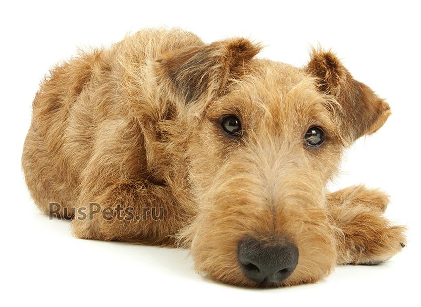 Всё о породе Ирландский терьер - фото собаки, описание породы Ирландский терьер, характер, содержание и уход