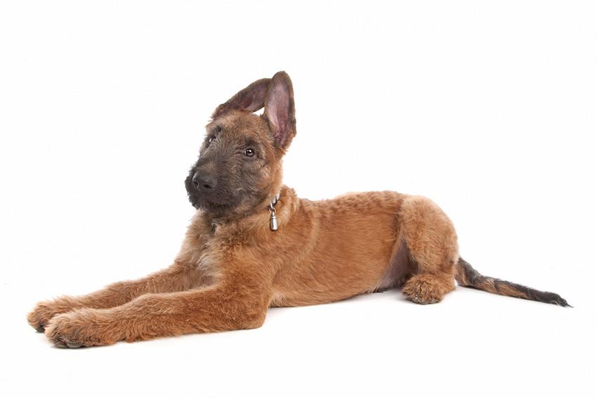 Всё о породе Лакенуа - фото собаки, описание породы Лакенуа, характер, содержание и уход