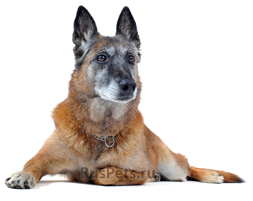 Всё о породе Малинуа - фото собаки, описание породы Бельгийской овчарки Малинуа, характер, содержание и уход