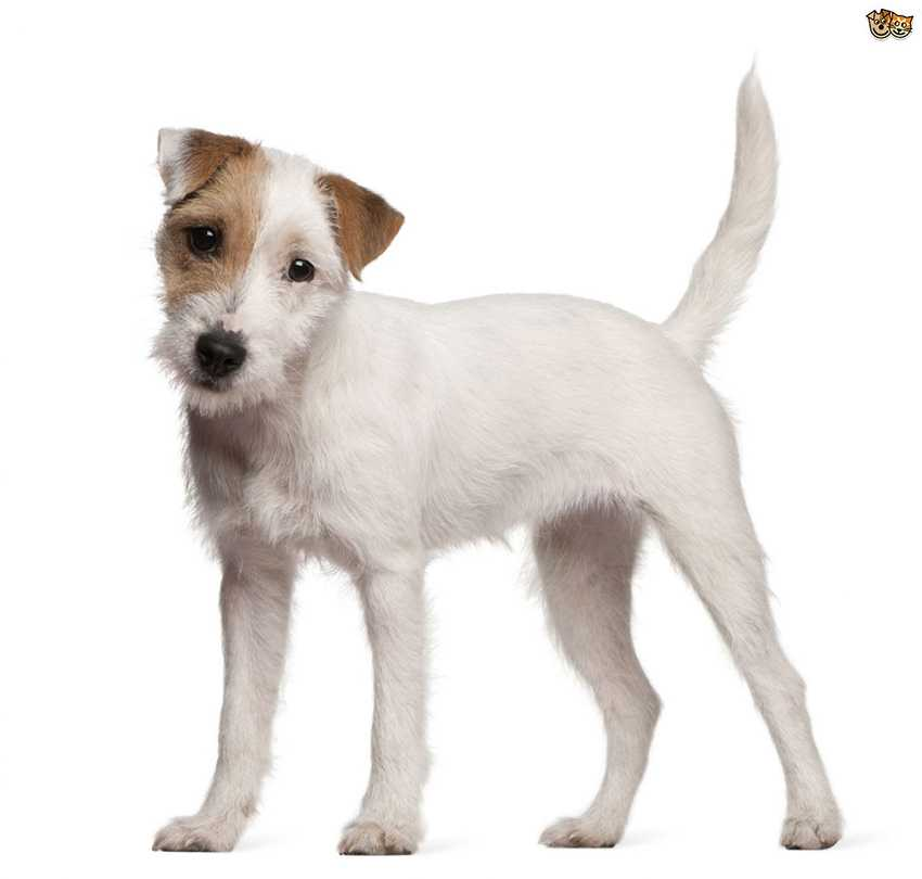 Всё о породе Парсон Рассел терьер - фото собаки, описание породы Парсон Рассел терьер, характер, содержание и уход