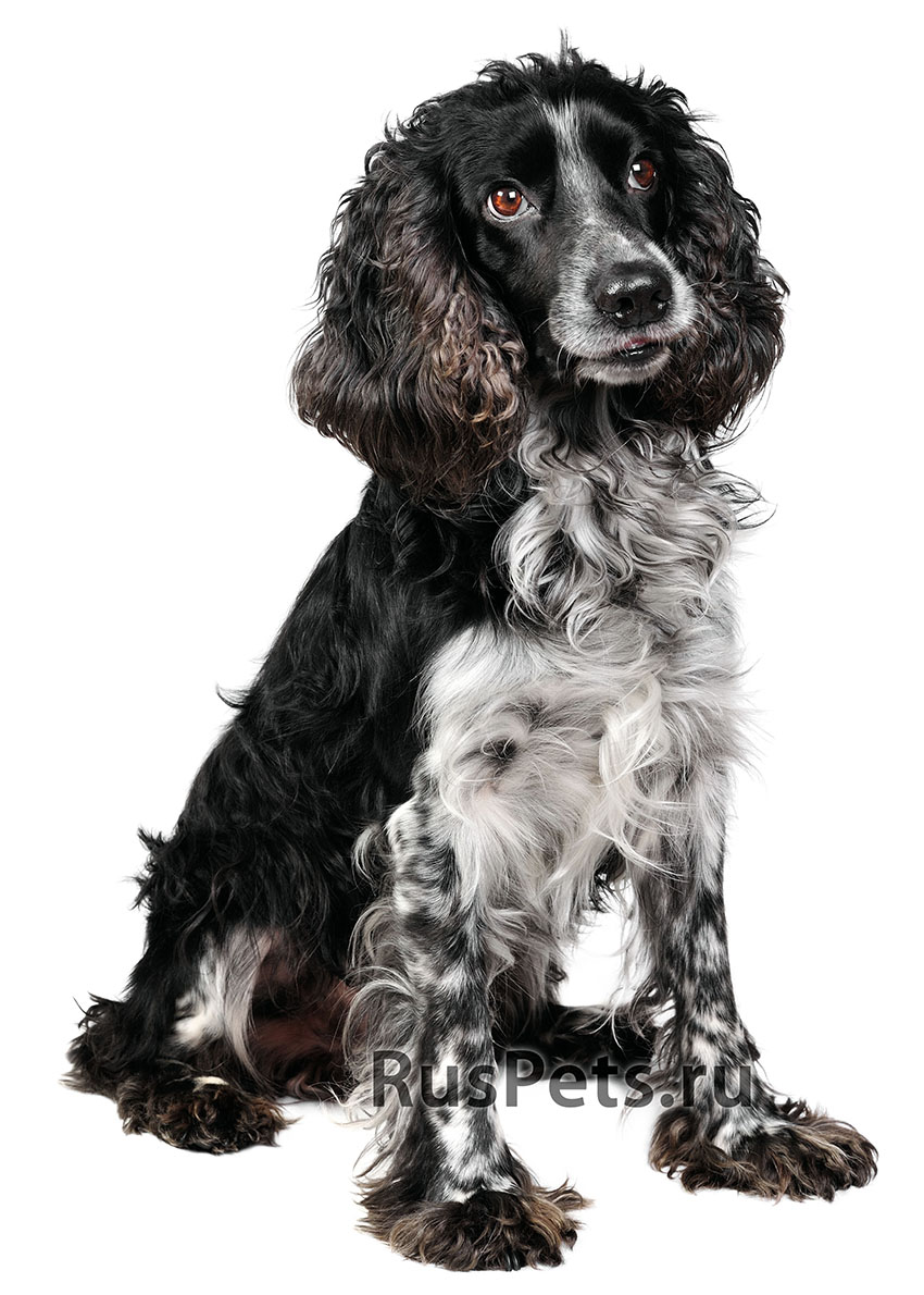 Всё о породе Русский охотничий спаниель - фото собаки, описание породы Русский охотничий спаниель, характер, содержание и уход