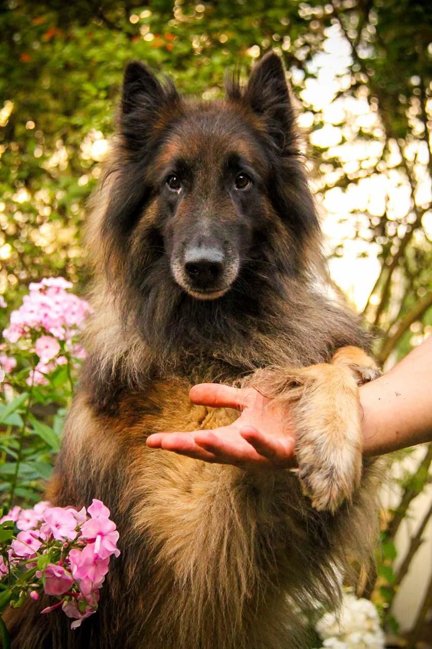 Клички тервюрен - имена собакам