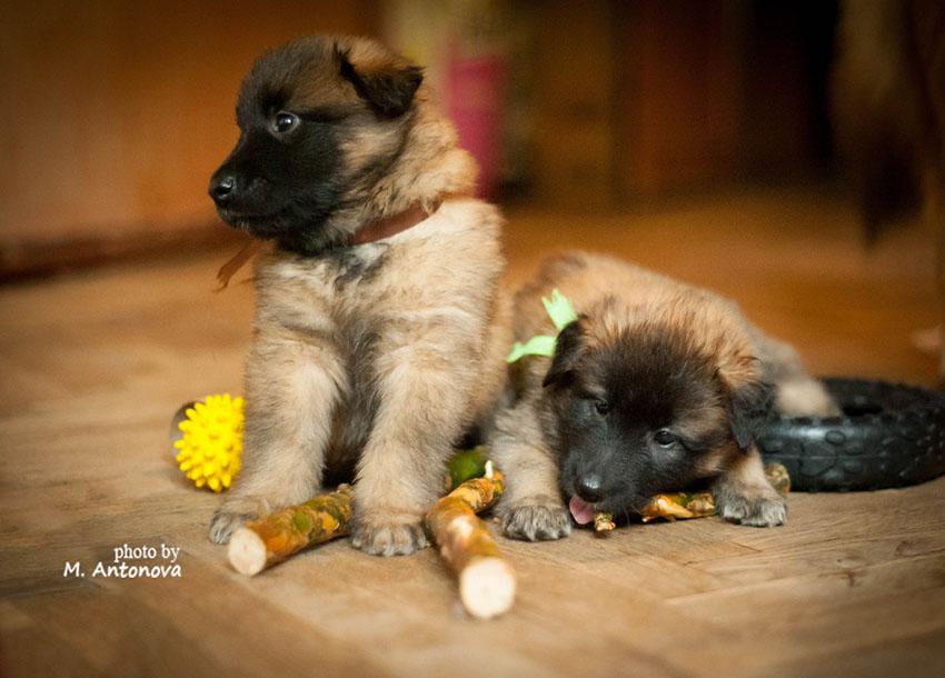 Содержание тервюренов и уход за собаками