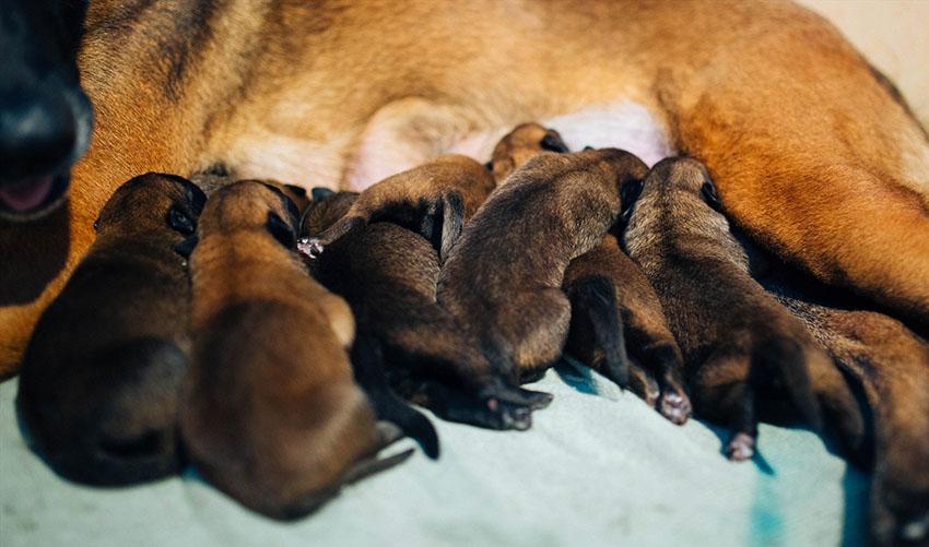 Мама и щенки бельгийской овчарки тервюрен