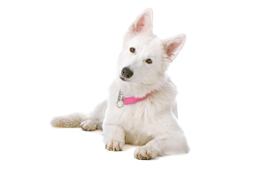 Всё о породе Белая швейцарская овчарка - фото собаки, описание породы Белая швейцарская овчарка, характер, содержание и уход