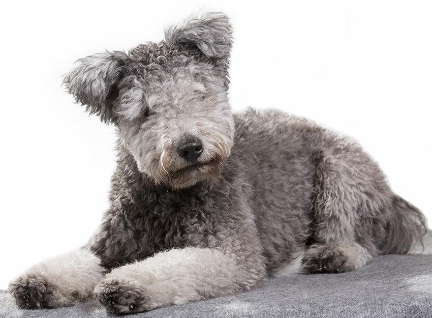Всё о породе пуми - фото собаки